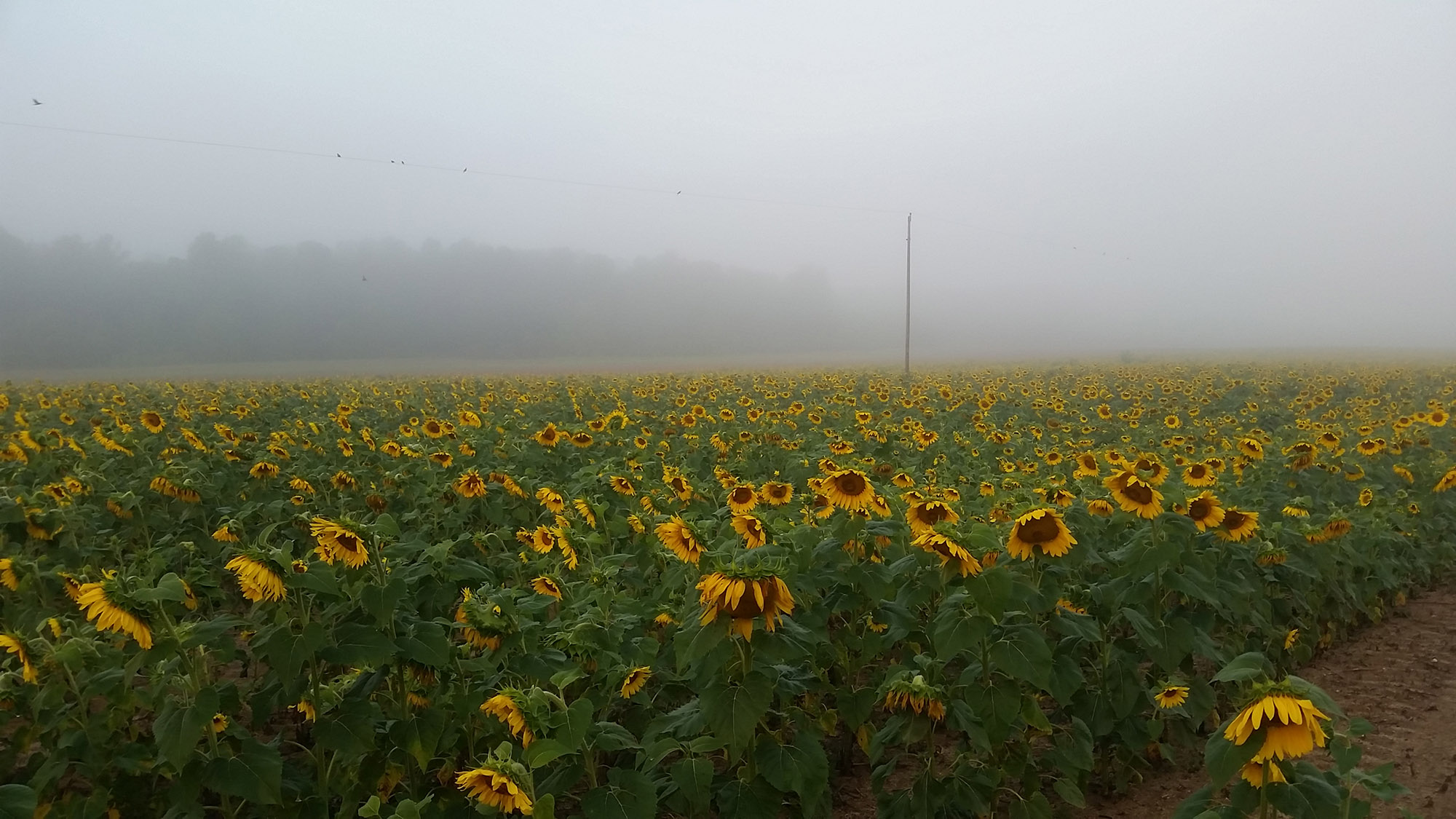 Sunflower field at Joe Kurz Wildlife Management Area in Gay, Georgia