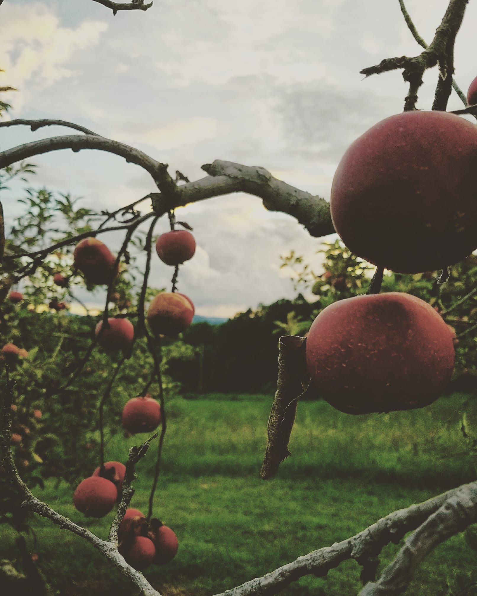 Apples at Deep Roots Orchard in McCaysville, Georgia