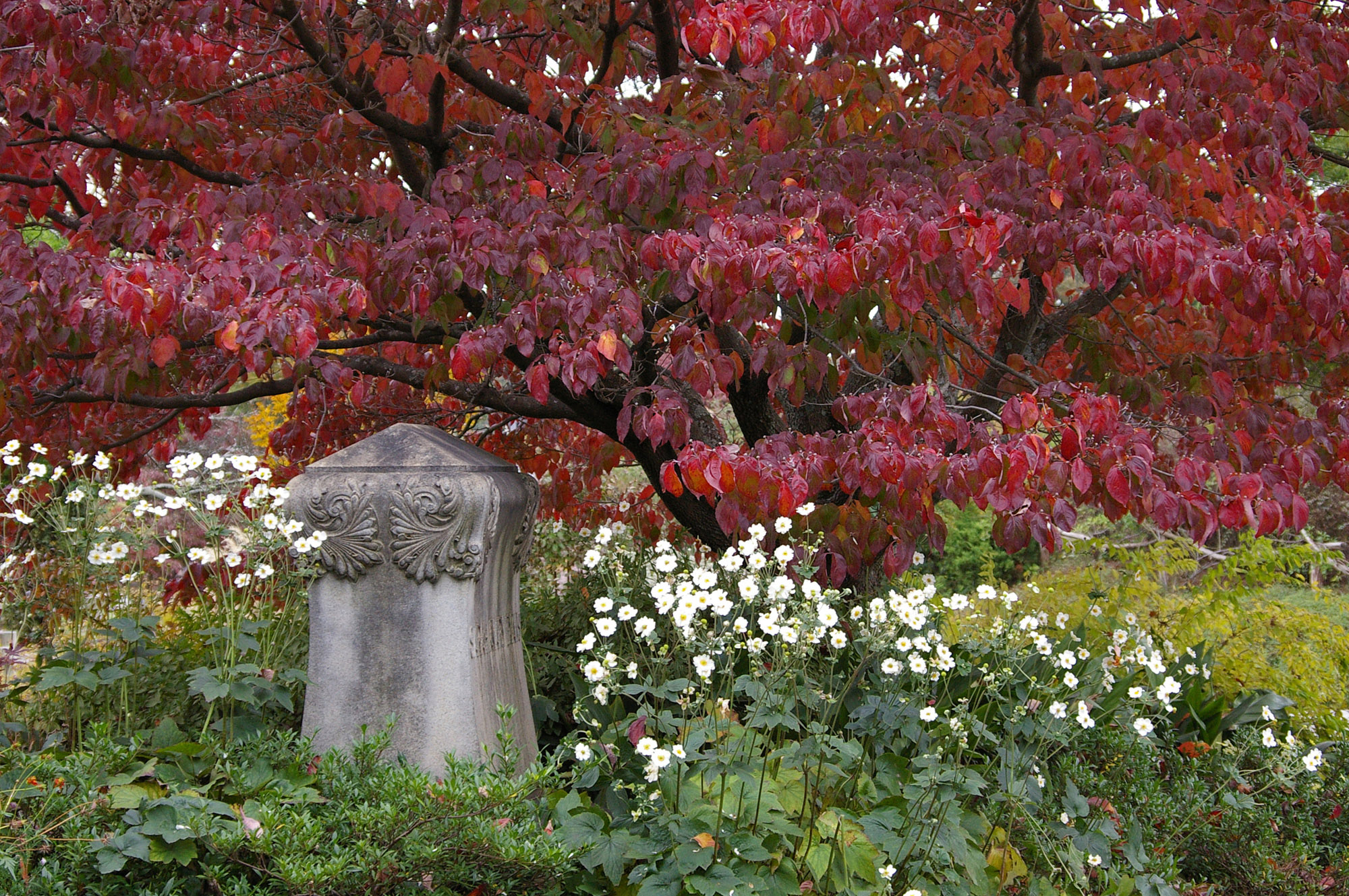 Dogwood and Japanese Anemones at Oakland Cemetery in Atlanta
