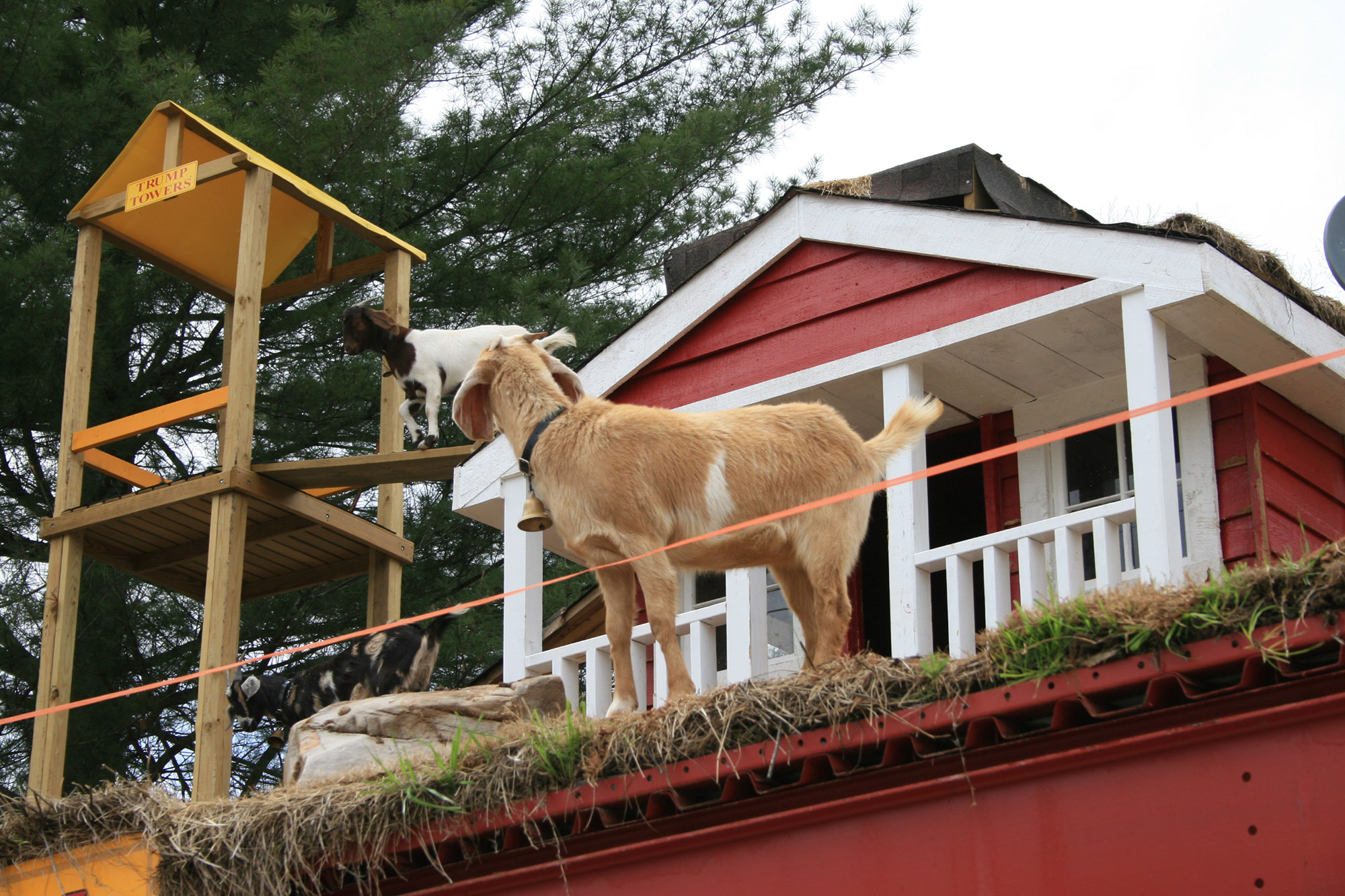 Goats on the Roof in Tiger, Georgia