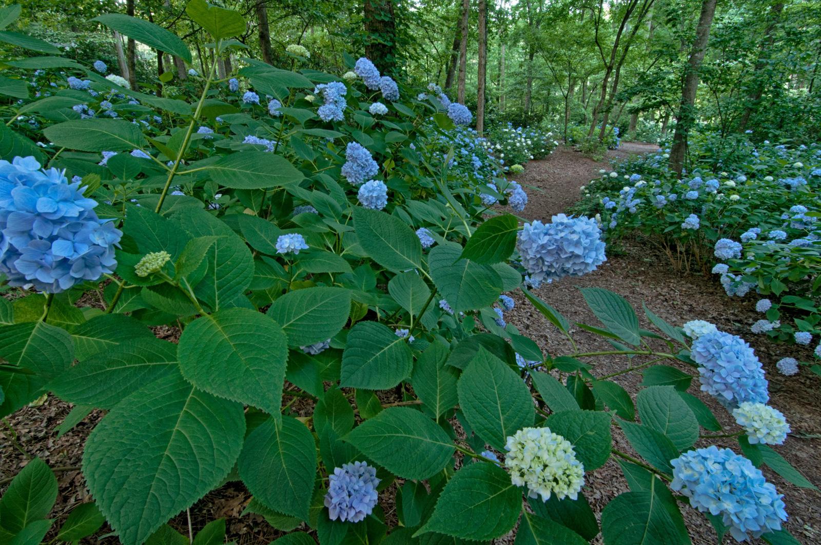 Hydrangeas For Every Garden Official Georgia Tourism Travel