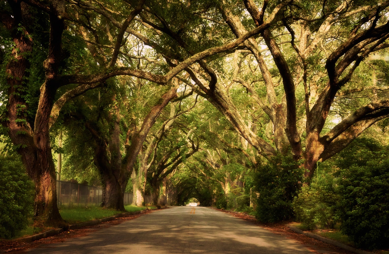Live oak trees overhang W. Society Ave. in Albany, Ga. Photo by Philip Wages.