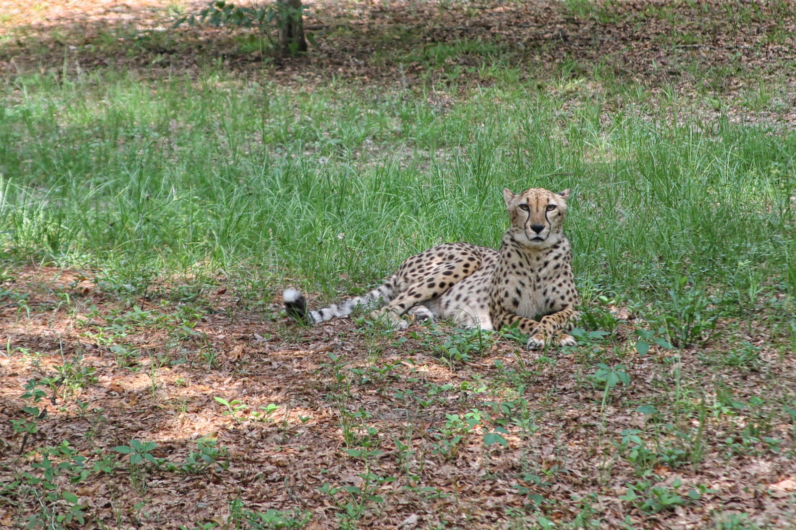 A cheetah at Chehaw Park in Albany. Photo by Candy Cook