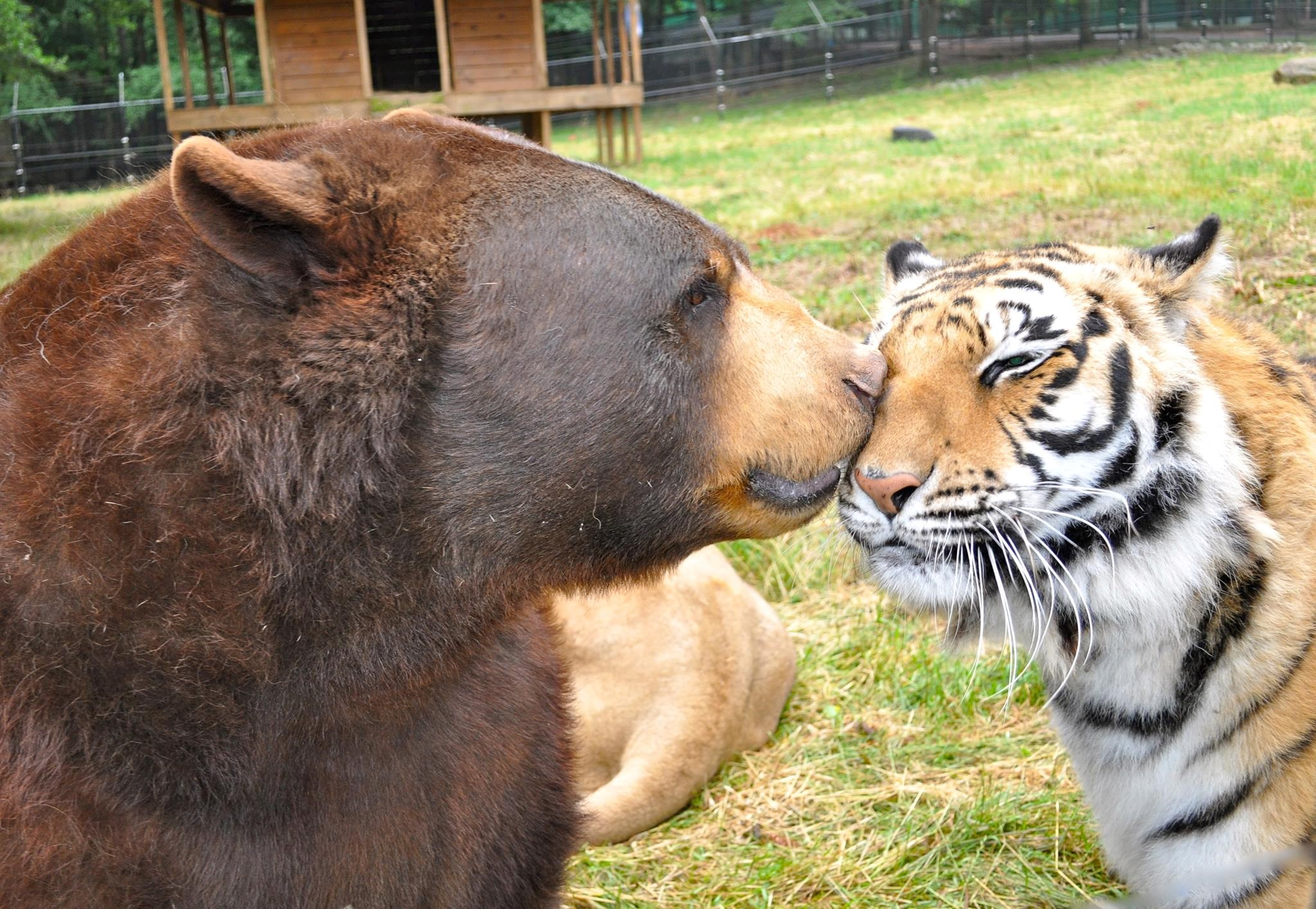 Bear and tiger at Noah's Ark Animal Sanctuary in Henry County, Georgia
