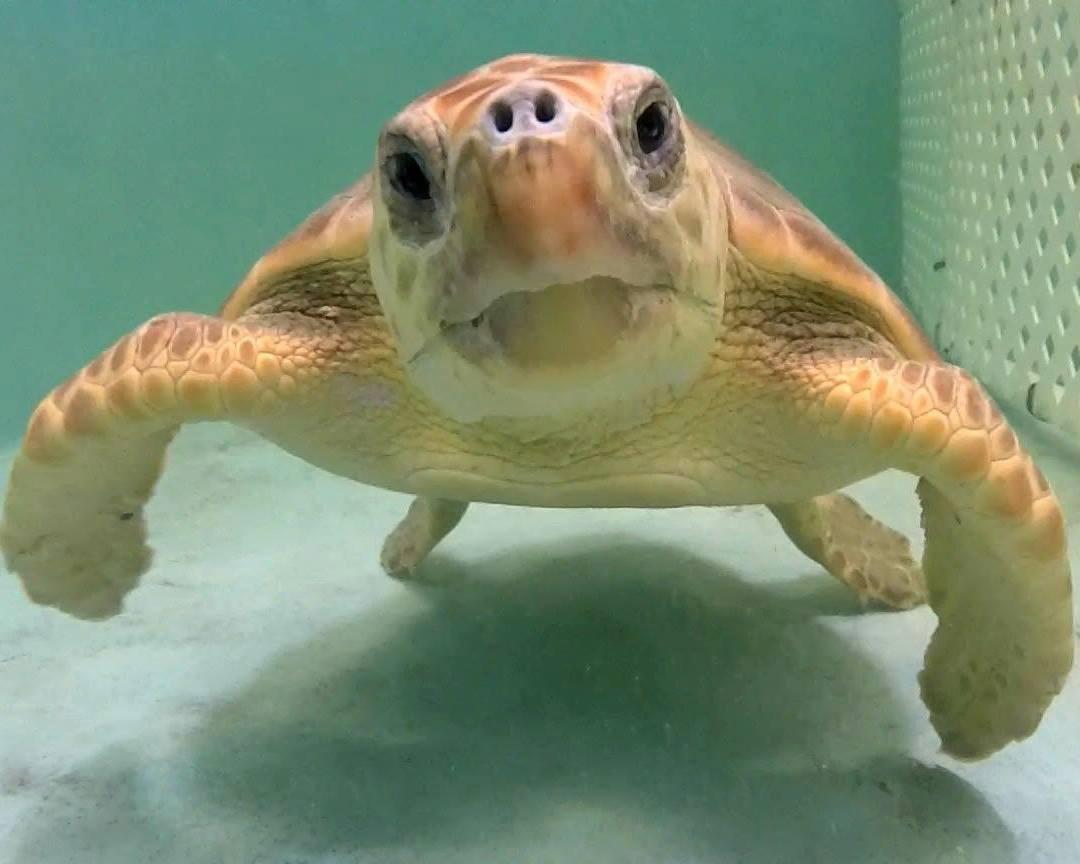 Image result for sea turtle cumberland island