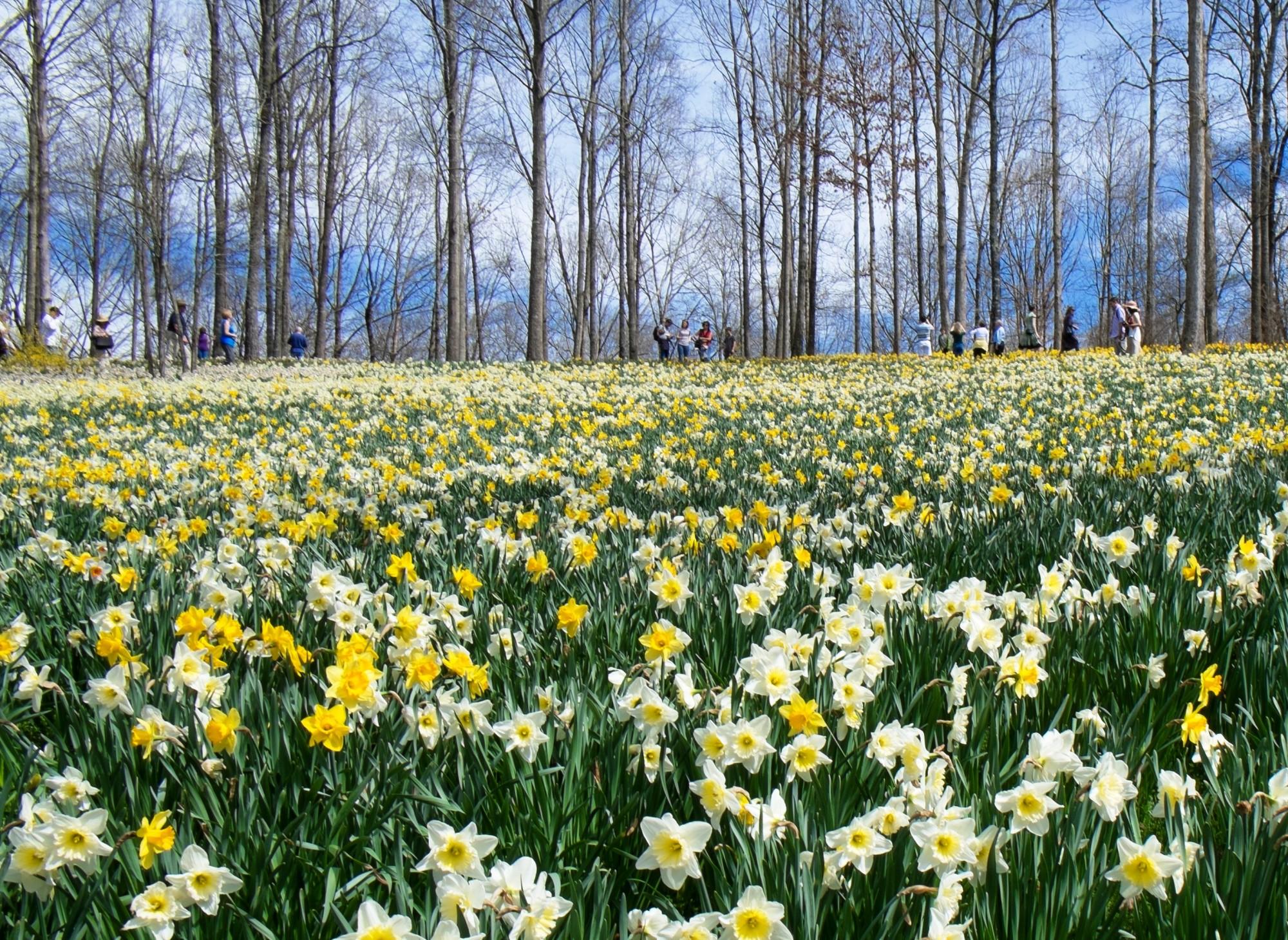 Daffodil Colorfest Official Georgia