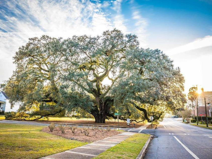 The Big Oak in Thomasville, Georgia. Photo by Bri Whigham, @whighamimages