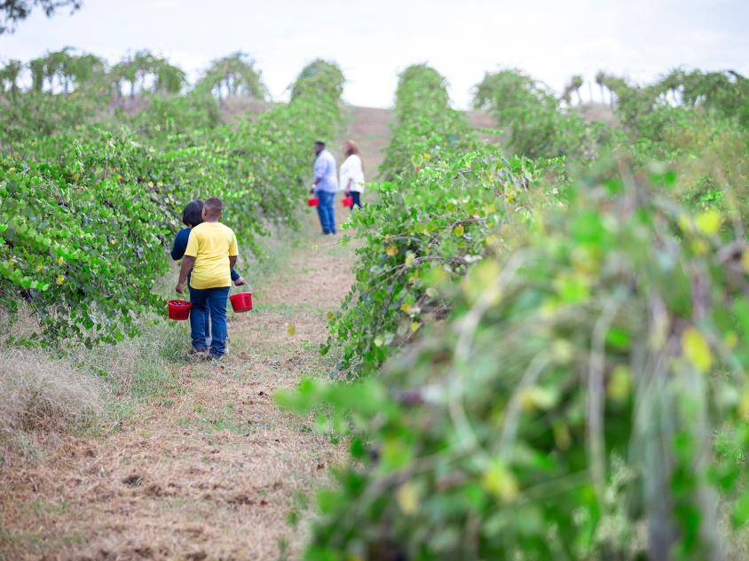 Berry picking at Paulk Vineyards in Wray, Georgia. Photo by Ben Galland