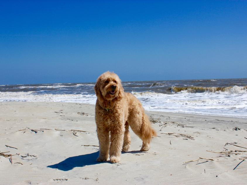 Doc, the Goldendoodle, on St. Simons Island