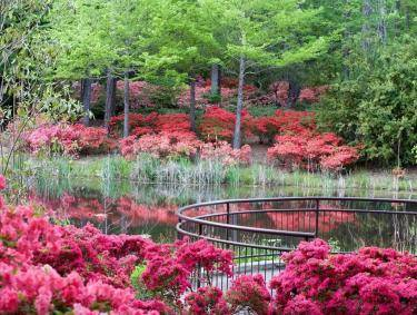 Azaleas blooming in spring at Callaway Resort & Gardens in Pine Mountain, Georgia
