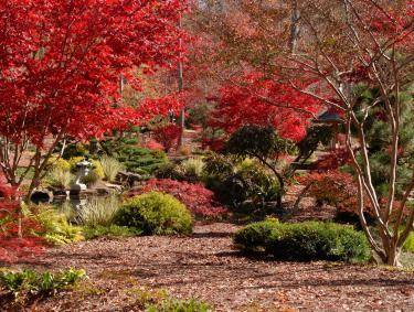 Japanese maples at Gibbs Gardens in Ball Ground, Georgia