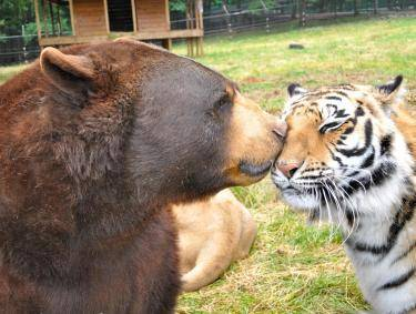 Bear and tiger at Noah's Ark Animal Sanctuary in Locust Grove, Georgia