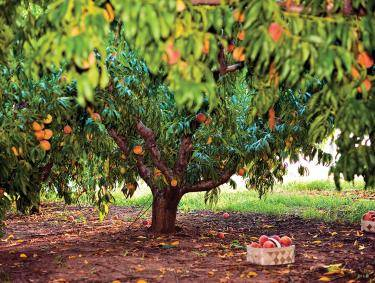 Peach Tree at Jaemor Farm