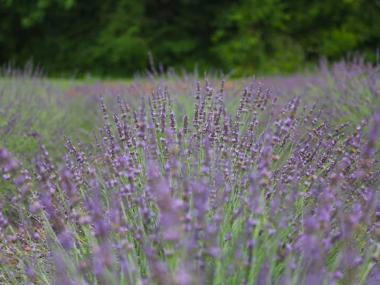 Georgia Lavender Farms, Festivals & Foods | Official Georgia