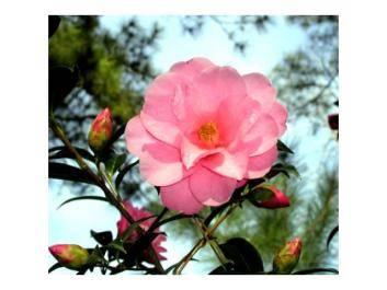 Camellia Society photo