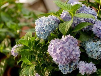 Shades of Purple Hydrangeas in the garden