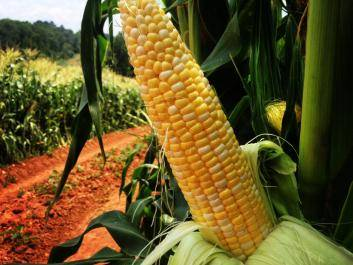 Sweet corn on the farm