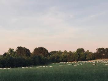 Ewes on pasture