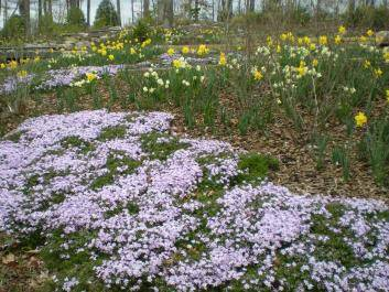 Daffodils and Phlox at the Stream garden