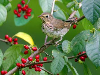 Photo by National Audubon Society of a Swainsons thrush in a spice bush.