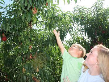 Two of the Echols family great-grand kids Oakley and Janna picking peaches!