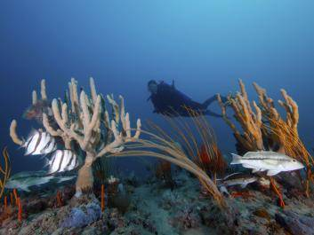Diver at Gray's Reef with fishes and sponges.  Photo by Greg McFall for NOAA