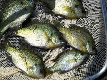 Bluegill-Fish Bream
