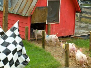 Pig Races in the fall
