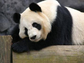 Zoo Atlanta is one of only four zoos in the U.S. housing giant pandas.