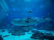 Whale Shark at the Georgia Aquarium in Atlanta. Photo credit: Georgia Aquarium