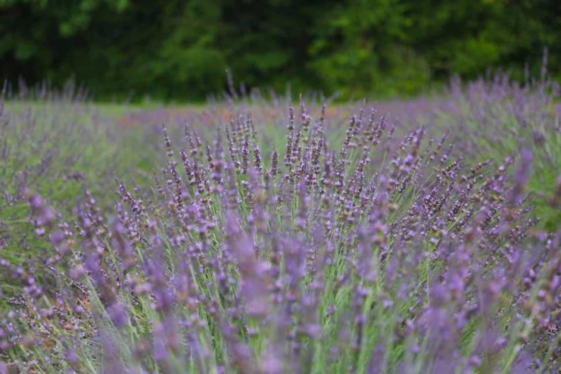 5 Things You Didn't Know About Lavender | Official Georgia