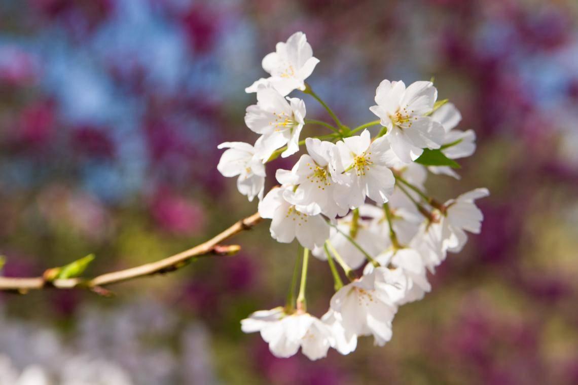 International Cherry Blossom Festival In Macon Official Georgia Tourism Amp Travel Website