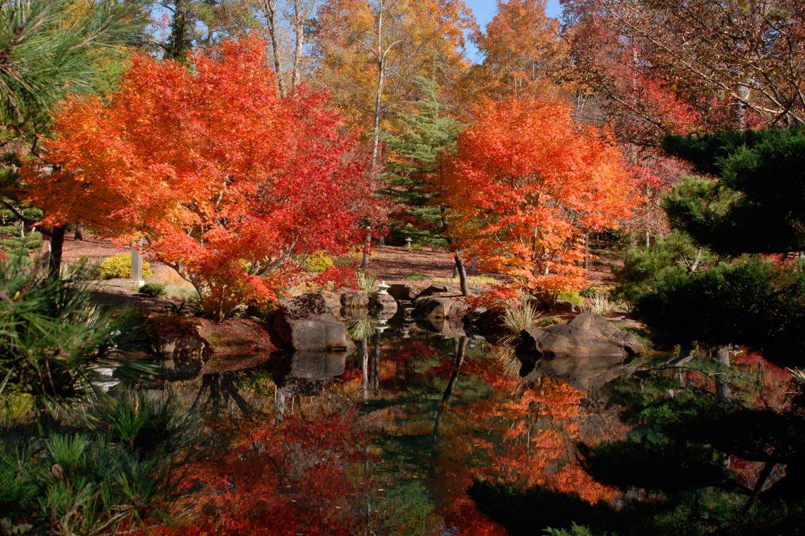 Japanese Maples: Brilliant Stars of Fall Landscapes | Official ...