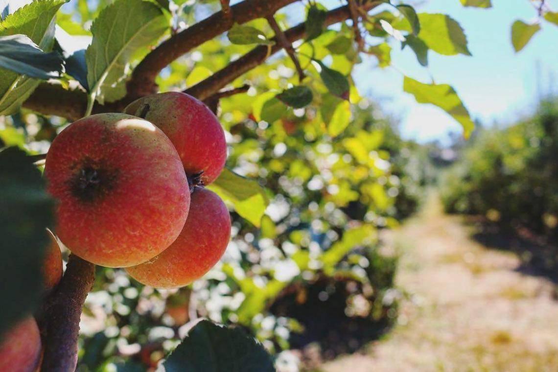 Where To Go Apple Picking In Georgia Official Georgia Tourism